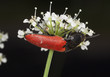Red click beetle feeding on white flower