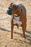 Brindle colored Boxer dog poster