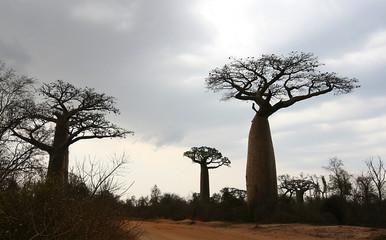 Baobabs Madagaskar