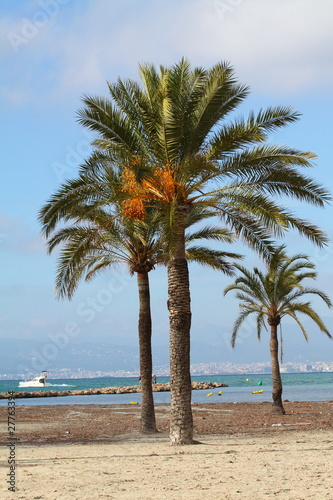 Palm tree - Palma de Mallorca - Balearic Islands