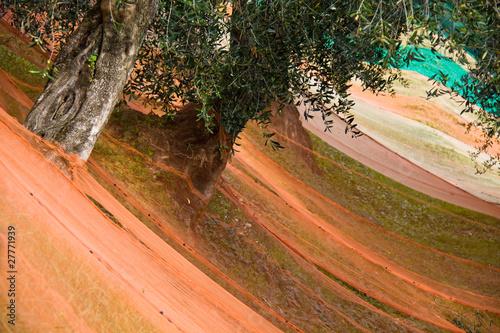 Fototapeten,olive tree,gestrüpp,olivenhain,olivenhain