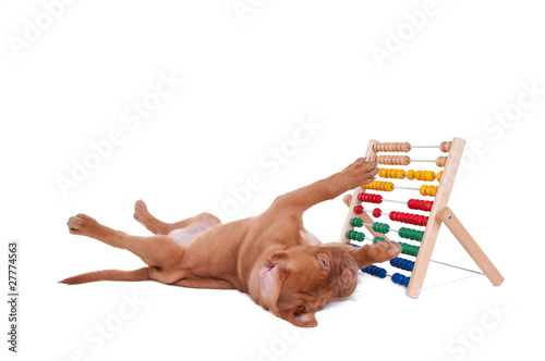 Puppy playing with abacus