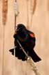 Spring Red-winged Blackbird