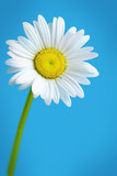 fresh daisy
