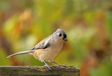 Tufted Titmouse, Baeolophus bicolor poster