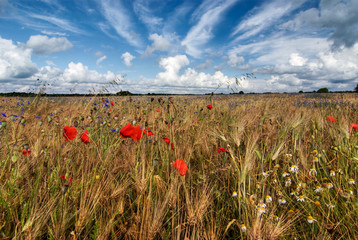 barley field with poppies, cornflowers and mayweed