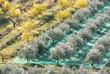 récolte au filet des olives dans champ d'oliviers