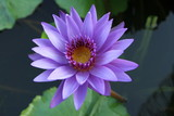 Purple water lily (Nymphaea)