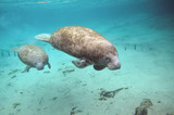 manatee and cow - Fine Art prints