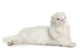Albino ferret, lying on a white background poster