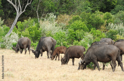 African Buffalo in Kruger Park, South Africa