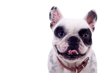 panting French Bulldog