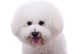 bichon frise sticking tongue out poster