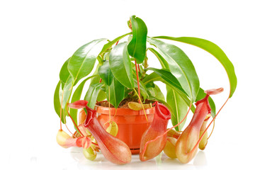 nepenthes coccinea