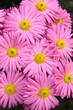 Rosy  chrysanthemum flowers background