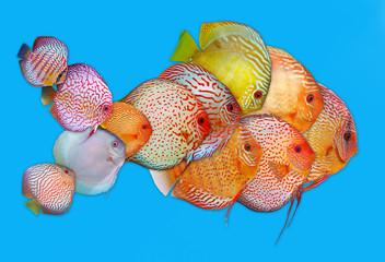 fish discus fish