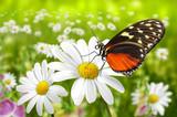 Fototapety Schmetterling 104