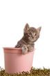 Gattino tigrato nel secchio rosa