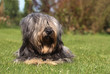 Skye terrier allongé de face