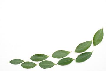 並んだ月桂樹の葉