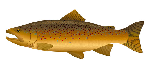 "Brown Trout. ""Full compatible. Created with gradients."""