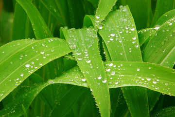 Corn Leaves After the rain