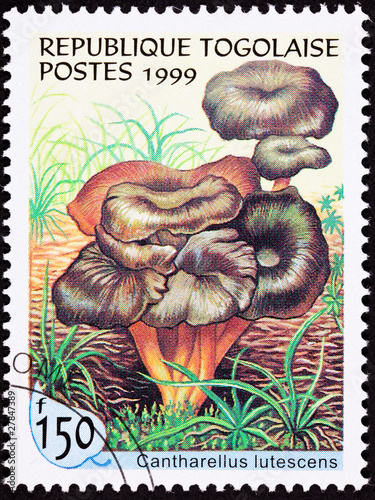 Togo Stamp Clump Yellow Foot Mushroom, Cantharellus Lutescens