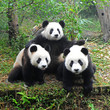Giant panda bear posing for camera