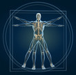 Skeleton in vitruvian