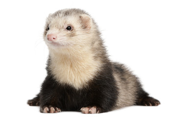 Ferret, 8 months old, lying in front of white background