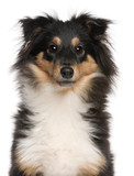 Close-up of Shetland Sheepdog puppy, 6 months old poster