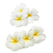 Tropical flowers frangipani (plumeria) isolated on white