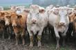 troupeau de vaches et leurs veaux