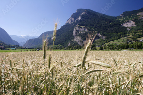 Field of grain in a Swiss alpine valley