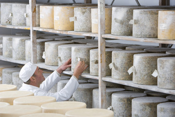 Cheese maker checking farmhouse cheddar cheese wheels on shelf in cellar