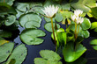Lotus Thai.Beautiful fresh water for the garden.