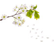 cherry tree flowers and falling petals