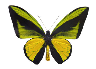 Ornithoptera goliath  butterfly.