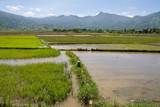 Flooded Rice Paddy, Asia poster