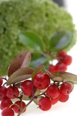Heilpflanze Gaultheria Homöopathie Scheinbeere