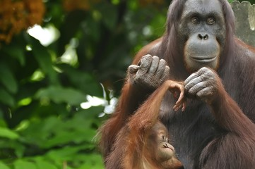 Orangutan Mother and Child
