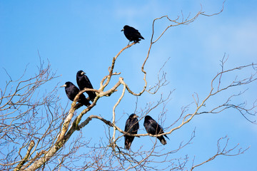 Family Group of Rooks in Tree Top Bare Branches with Blue Sky