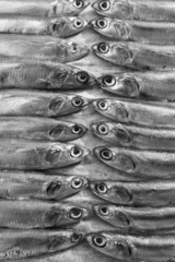 Fresh Italian anchovies