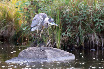 Itchy Great Blue Heron