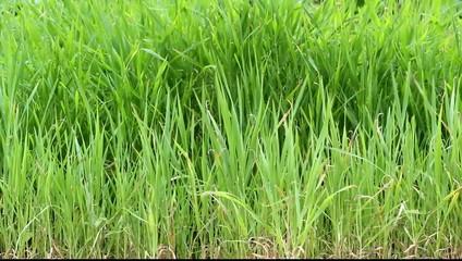 Fili d'erba e vento forte