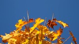 The yellow maple leaf waves on a wind.