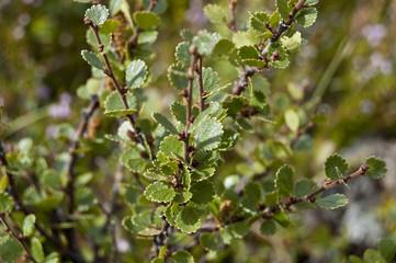 Abedul enano (Betula nana)