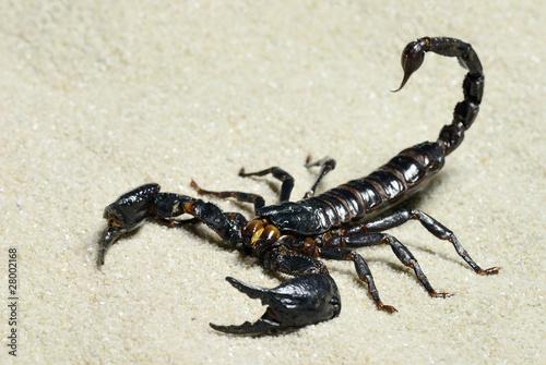 Leinwanddruck Bild Skorpion