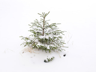 Fir in winter