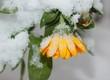 Blume mit Schnee im Winter
